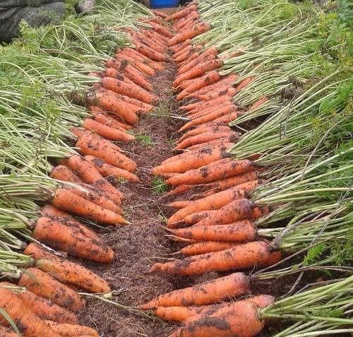 Как сохранить морковь до нового урожая