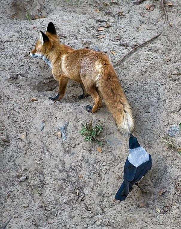 Завидует шикарному меху вороны, животные, птицы, фото