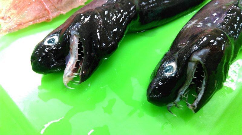 У берегов Тайваня выловили ужасную акулу с выдвижными челюстями Тайвань, в мире, монстр, рыба, улов, что ты такое