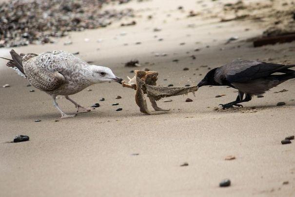 Ворона против чайки вороны, животные, птицы, фото