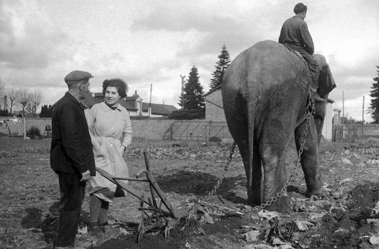 Когда и зачем люди впрягали слона в плуг?