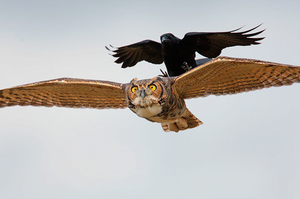 """""""Помедленнее, я скоро выхожу"""" вороны, животные, птицы, фото"""