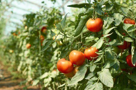 3 причины, почему помидоры вырастают с белыми прожилками внутри