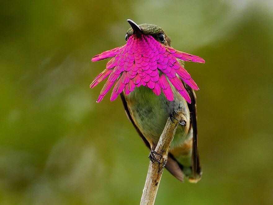 Колибри: миниатюрное чудо природы