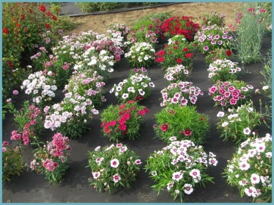 Особенности выращивания китайской гвоздики из семян