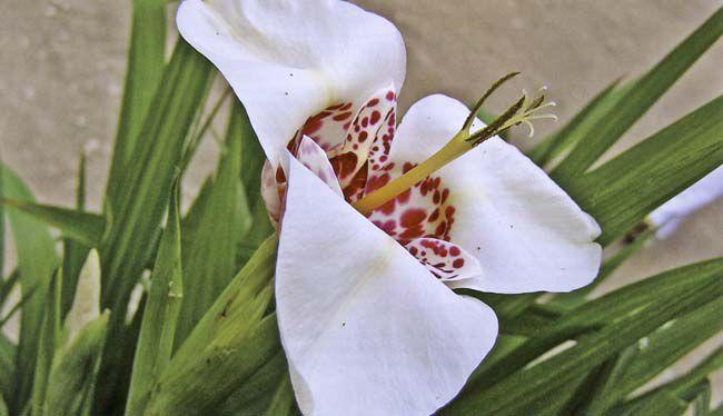 комнатные домашние цветы Тигридия фото, семена, описание, характеристики - растения для дома