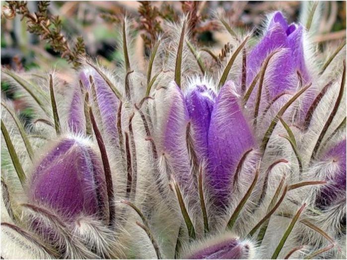 Сон-трава волосатость, интересное, красота, природа, растения, флора
