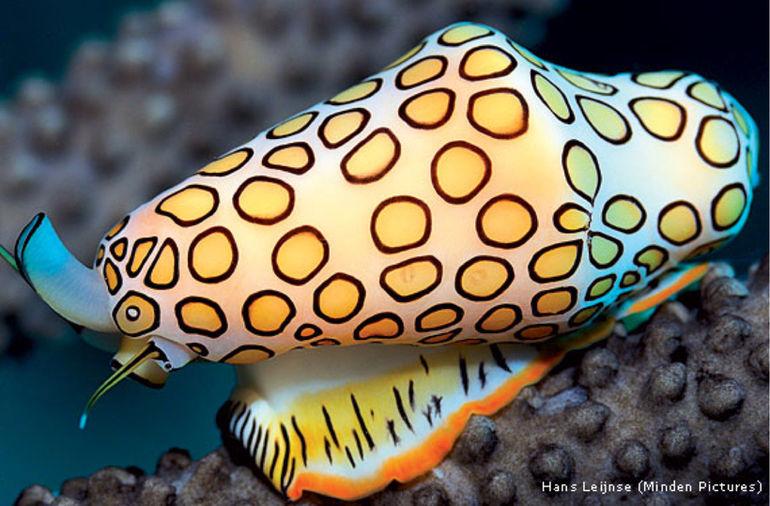 Язык фламинго — подводные брюхоногие моллюски