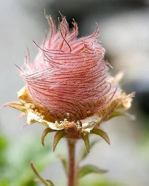 Herba benedicta волосатость, интересное, красота, природа, растения, флора