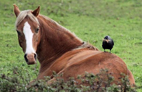 Галка выдергивает шерсть лошади вороны, животные, птицы, фото