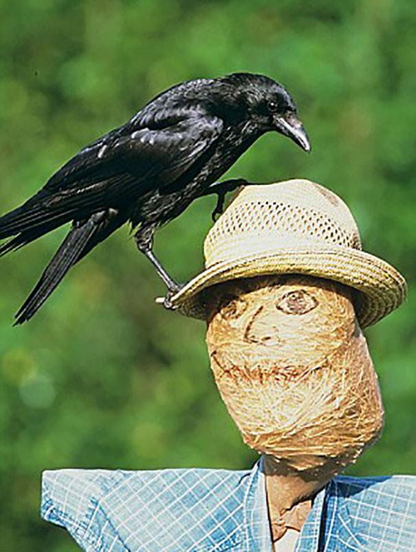 """""""Какие пугала..О чем вы.."""" вороны, животные, птицы, фото"""