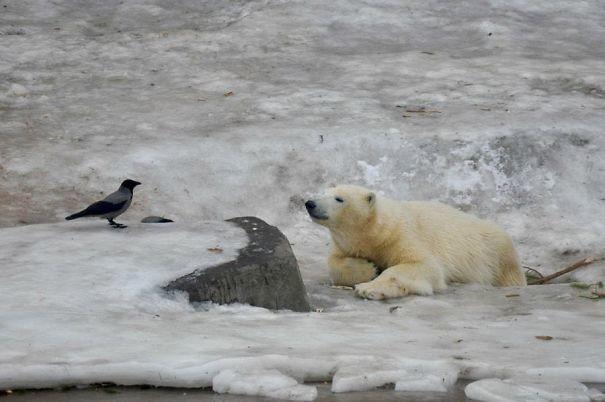 Глядя опасности прямо в глаза вороны, животные, птицы, фото