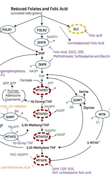 MTHFR Genetic Report