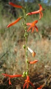 Scarlet Bugler