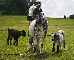 Goat female with 2 kids