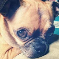 MT PLEASANT FAVORITE PET: Bella the Chug