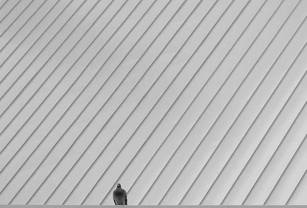pigeon2 sm