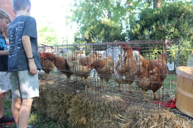 Chickens waiting to be fed by children during at Oaklands Mansion's Autumn in the Oaks Educational Field Day in Murfreesboro, Tenn. on September 21, 2017. (Shade Narramore / MTSU Sidelines)