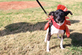 Edith, a 9-year-old mixed terrier, dresses as a lobster at Bark in the Park in Tullahoma, Tenn. on Nov. 4, 2017. (Victoria Leuang / MTSU Sidelines)