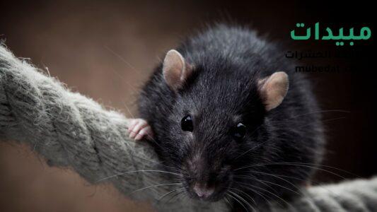 الفئران تواجدها وخطرها