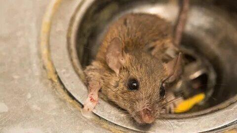 تخلص من الفئران