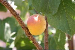 apricot-052408.jpg