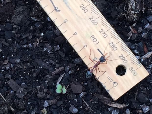 Bull ant on ruler