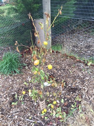 Frost damaged lemon