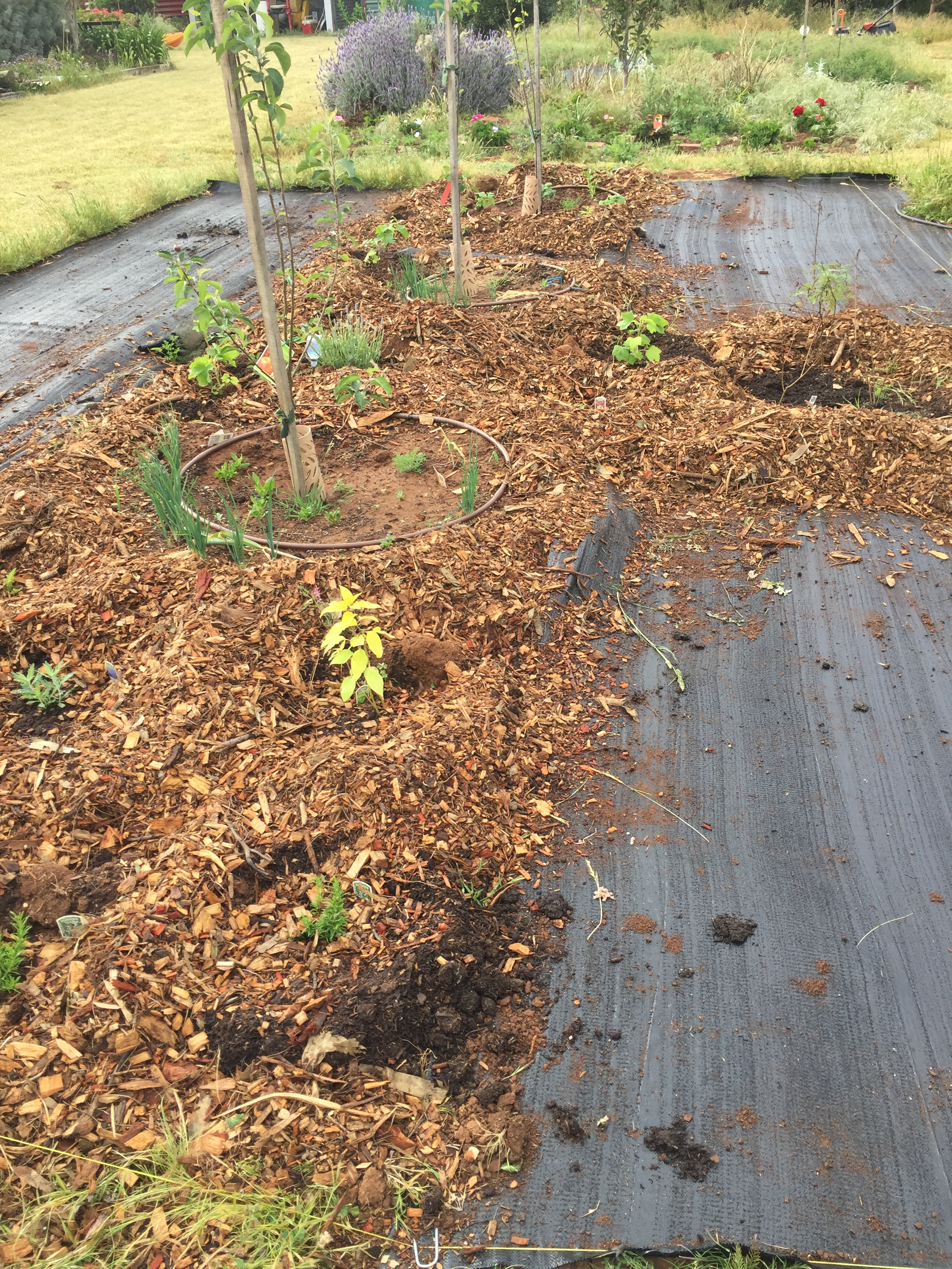Apricot bed under weedmat