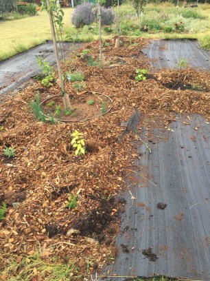 Apple and plum, with weedmat covering around