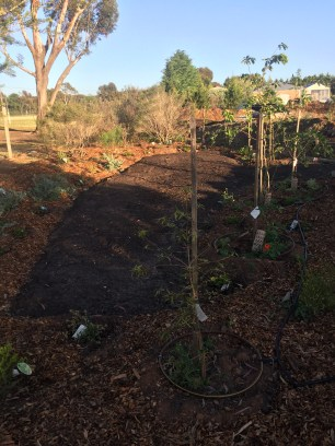 """""""Secret garden"""" with grass coming through. Native screen plants on the left, fruiting trees on the right"""