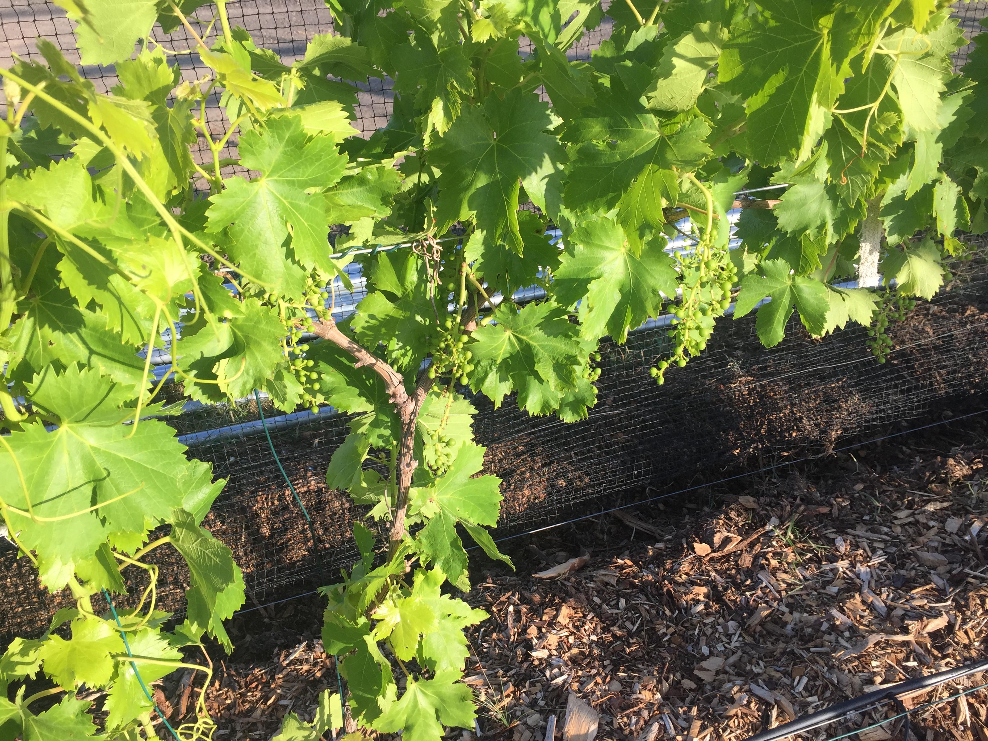 Esummer grapes