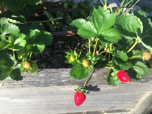 Strawberries in the terrace