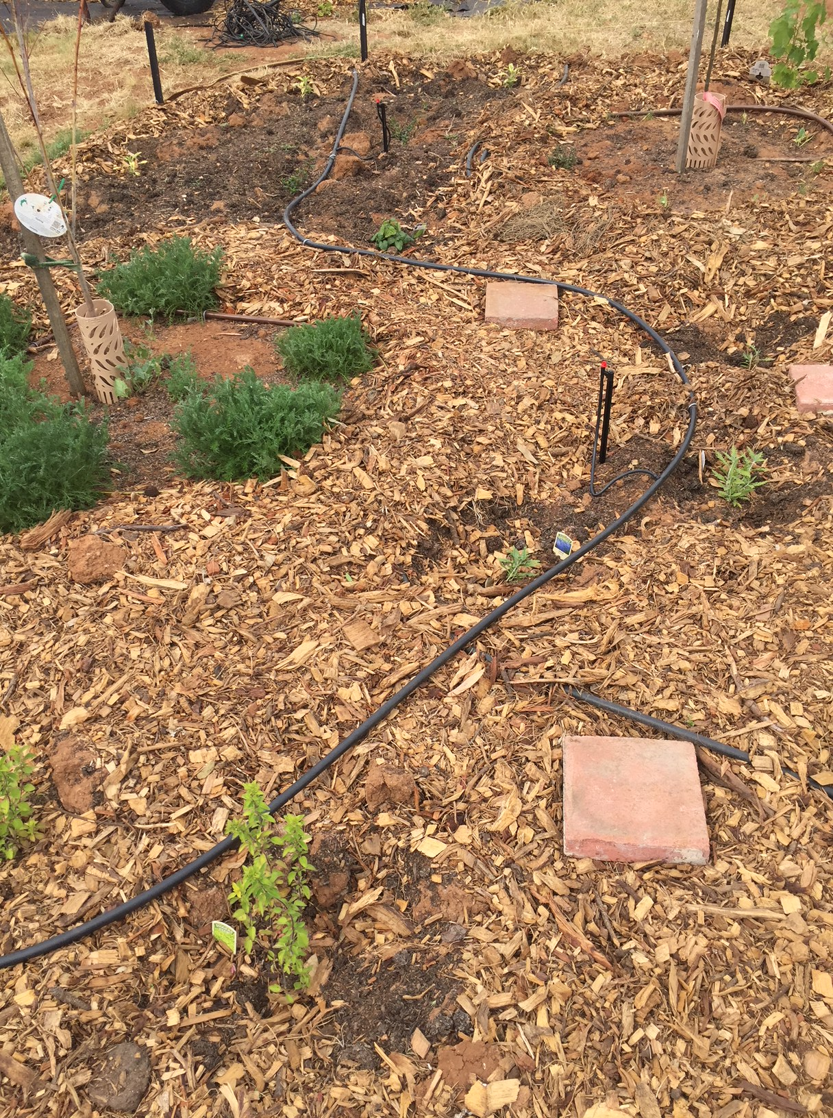 Irrigation of herbs