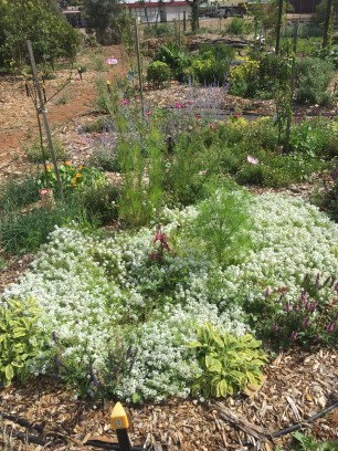 Cosmos, Alyssum, Sage and other flowers and herbs around fruits