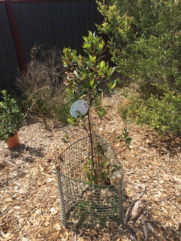 Bush - blueberry ash