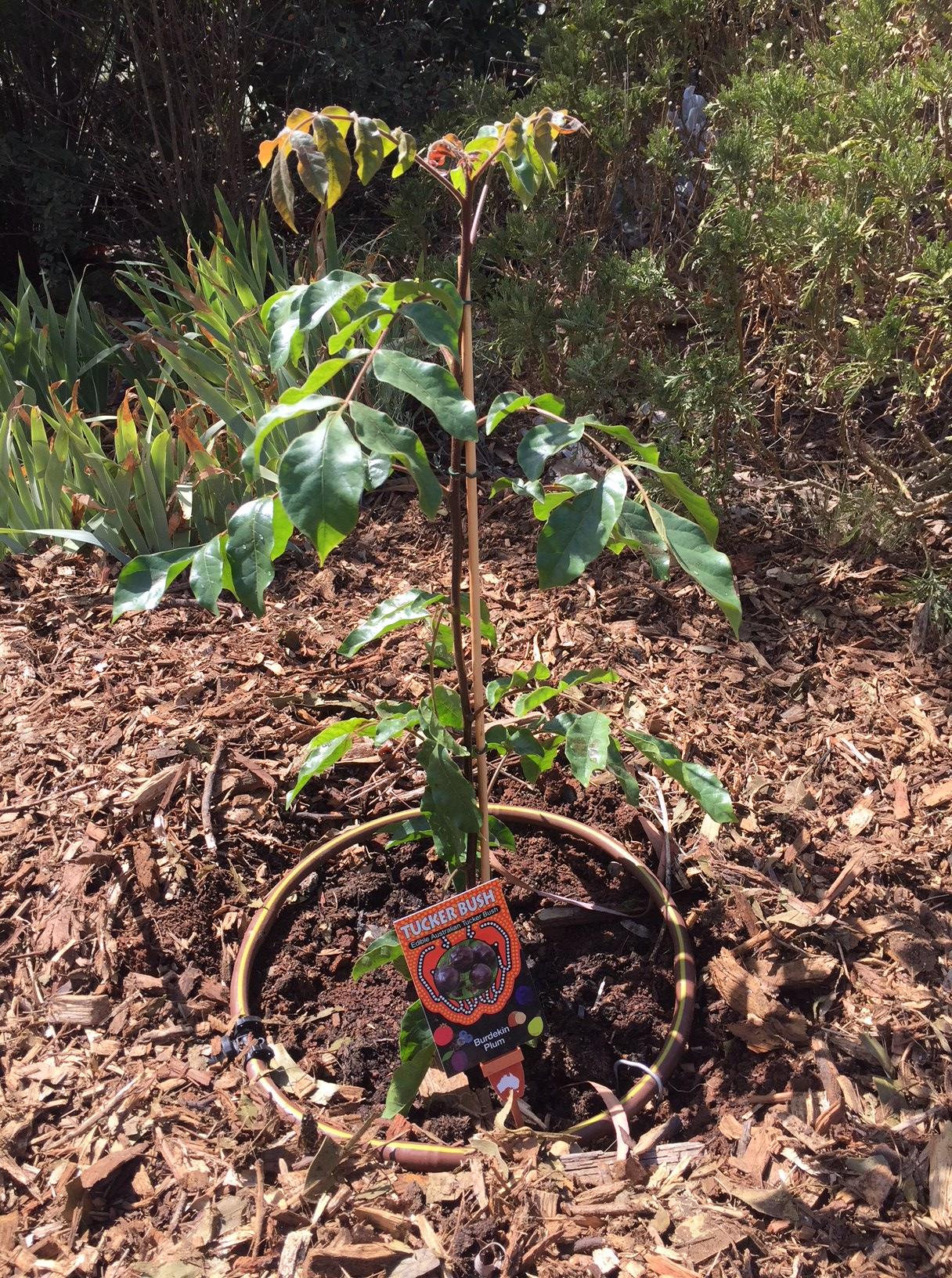Bush – Burdekin plum