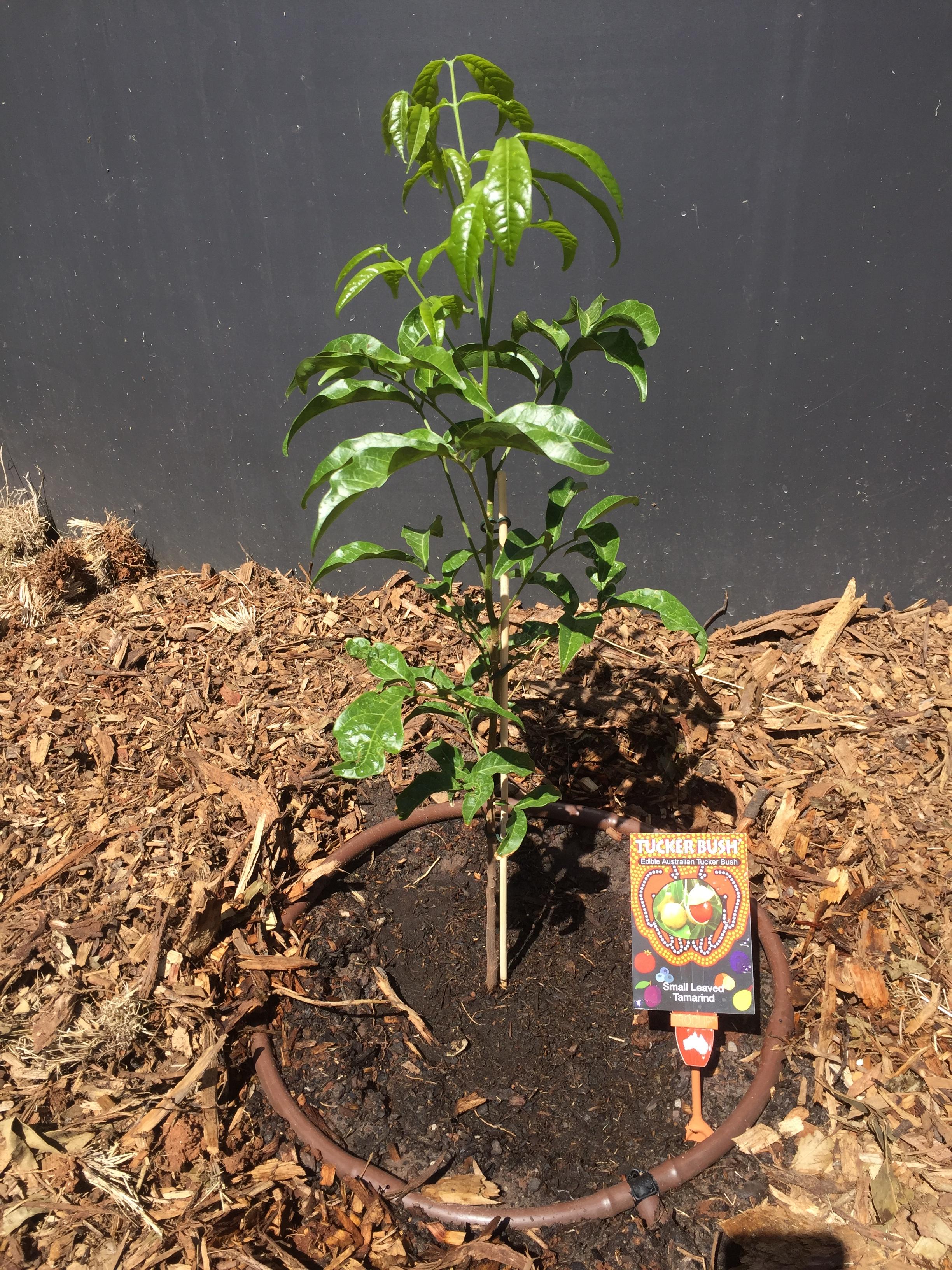 Bush – small leaf tamarind