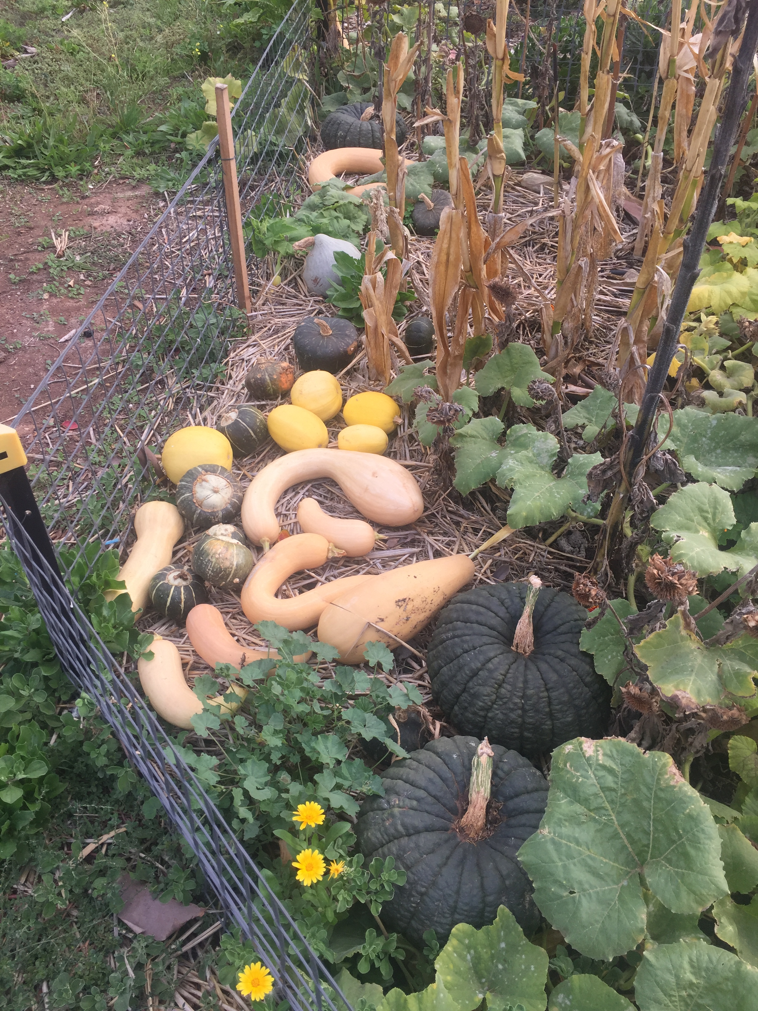 fall – pumpkin harvest