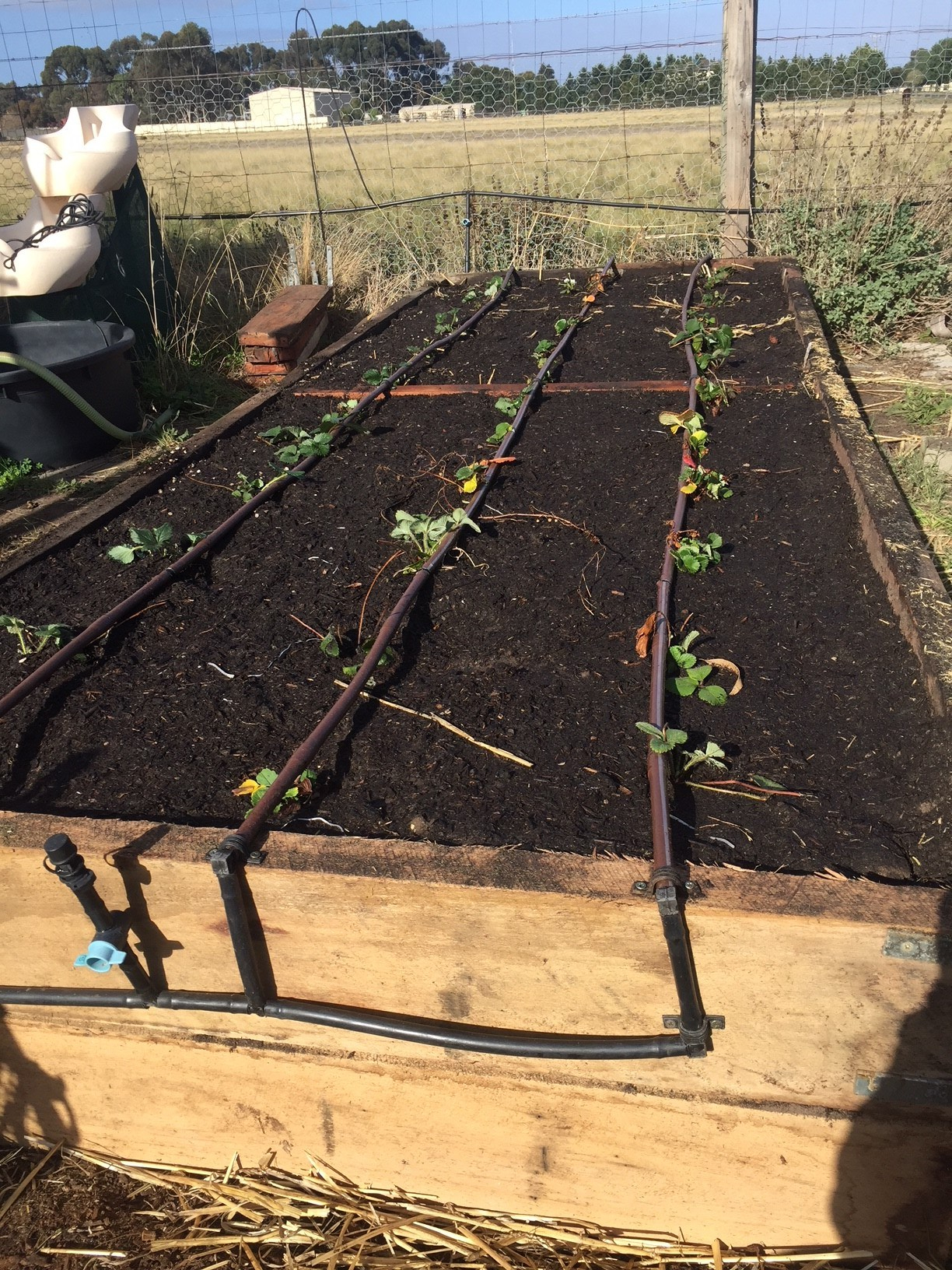 SBGH – strawberries planted