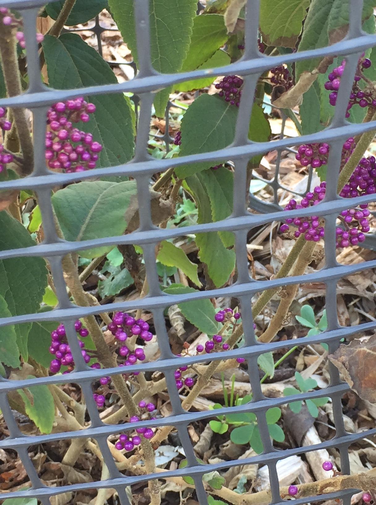 fall – beautyberry 1