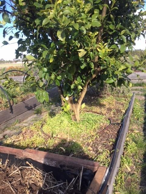 Reap - HL lemon irrigation