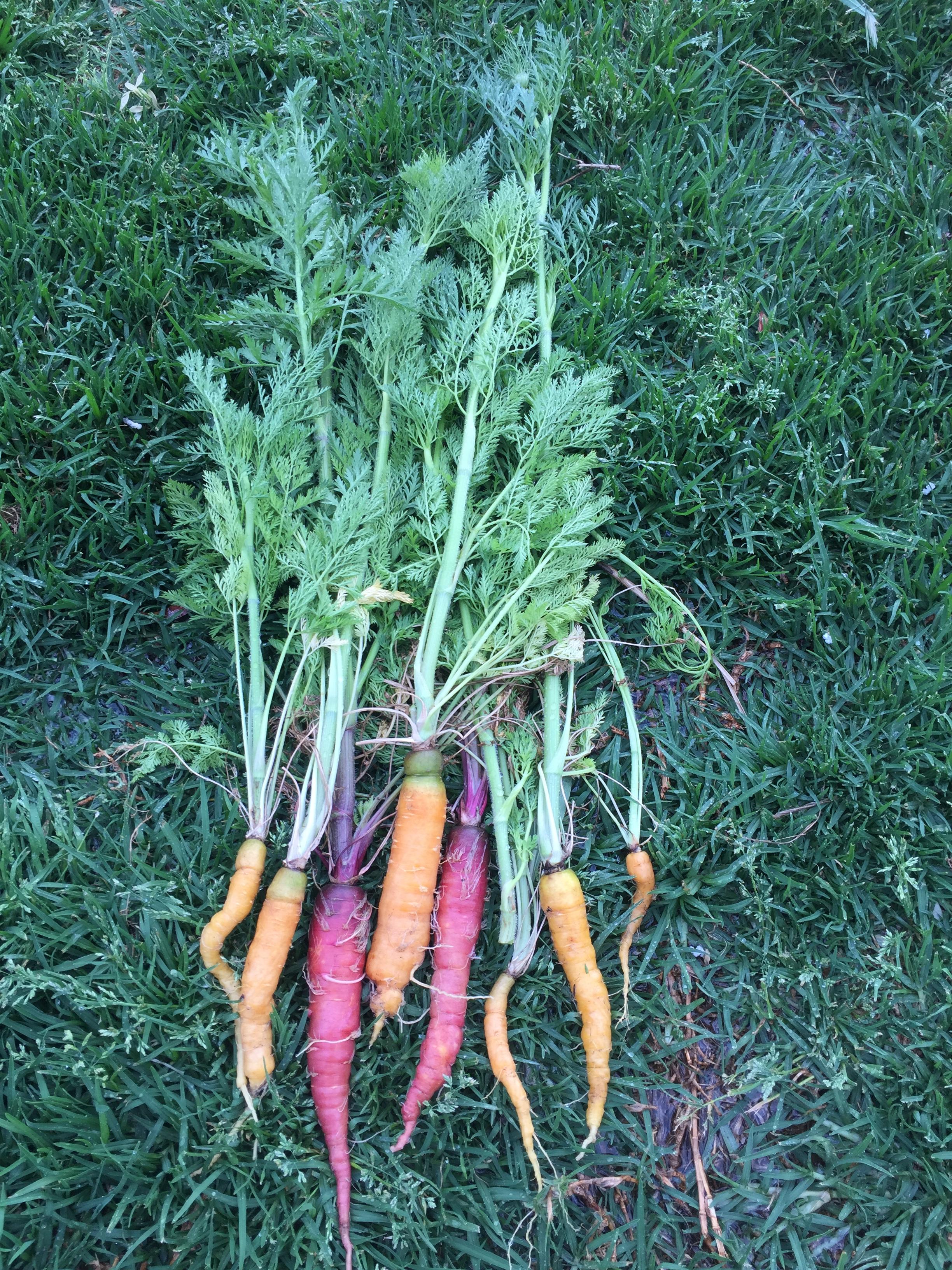 Carrots – harvest
