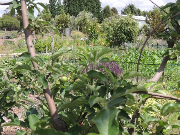 FG - view through apple tree