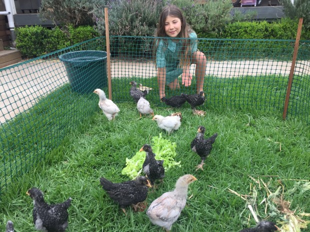 Chooks - free range training