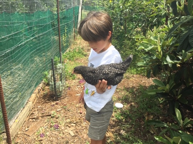 Chooks2 – Scot grey hen