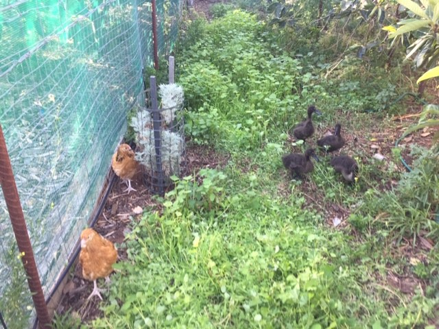 Fowl – buffs and ducks