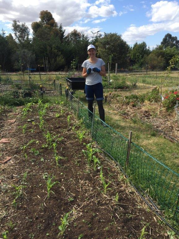 Corn - DL planted
