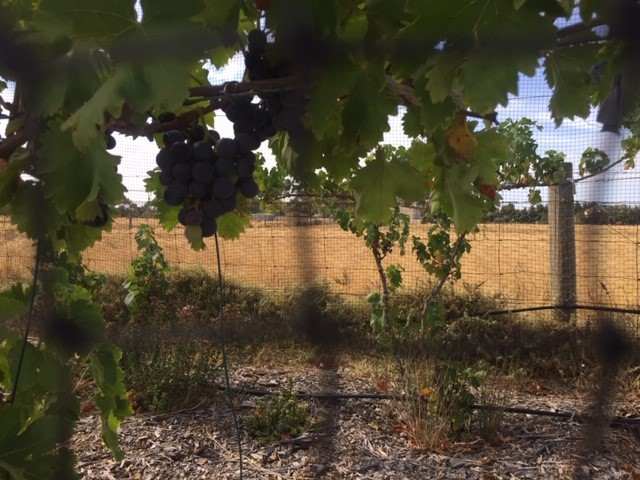 Grapes – old yield