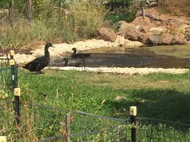 Coop hygiene - ducks swimming